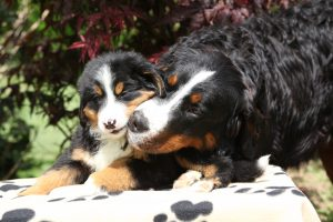 Bernese Mountain Dog bitch with puppy on blanket in front of dark red leaves