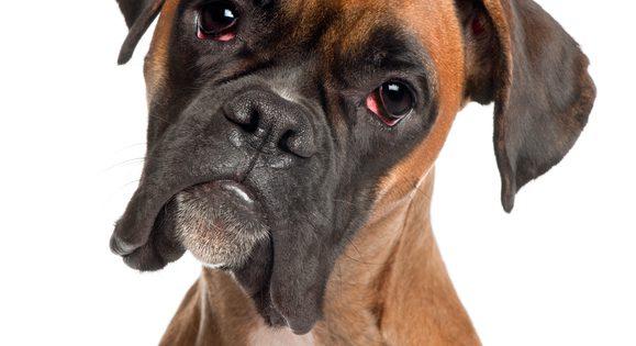 Boxer är en populär familjehund.